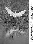 little egret landing at buhair... | Shutterstock . vector #1105311593