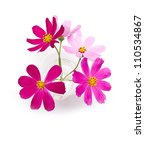 Cosmos Flower Isolated On...
