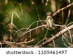 ruby throated hummingbird... | Shutterstock . vector #1105461497