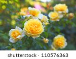 Some Orange Yellow Roses In Th...