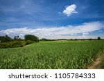 sugarcane field with blue sky | Shutterstock . vector #1105784333