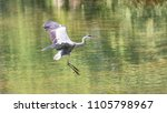 a grey heron  ardea cinerea  in ... | Shutterstock . vector #1105798967