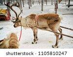 reindeer sledge ride in winter... | Shutterstock . vector #1105810247