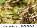 ruby throated hummingbird... | Shutterstock . vector #1105858847