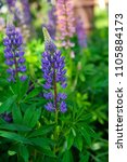 purple and violet lupin bunch.... | Shutterstock . vector #1105884173