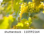 Closeup of grapes growing on a vine - stock photo