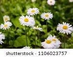 flowering of daisies. oxeye... | Shutterstock . vector #1106023757