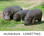 hippo herbivorous semi acquatic ... | Shutterstock . vector #1106077463