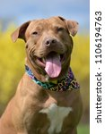 Small photo of Brown American Pit Bull Terrier portrait
