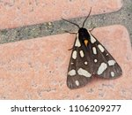 european moth. arctia villica ... | Shutterstock . vector #1106209277