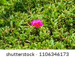 Small photo of Portulaca pilosa or Portulaca grandiflora