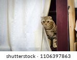 Small photo of Scottish fold cat skulk after white curtain