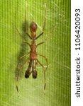 Small photo of Ant mimicking spider, Myrmarachne sp, Salticidae, Bangalore