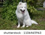 Small photo of Samoyed is sitting on a green meadow. Sledge dog.