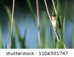 tiny reed warbler hidden in the ... | Shutterstock . vector #1106501747
