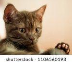 chocolate scottish straight... | Shutterstock . vector #1106560193