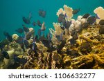 Small photo of school of acanthurus coeruleus swimming aways