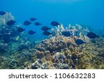 Small photo of School of acanthurus coeruleus in a reef
