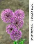 flowers of decorative onion in...
