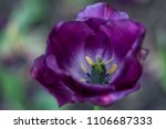 beautiful tulip  macro... | Shutterstock . vector #1106687333