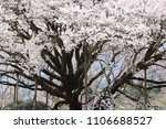 the huge cherry trees in full...   Shutterstock . vector #1106688527