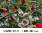 Small photo of disease on roses