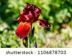 beautiful iris flower on... | Shutterstock . vector #1106878703