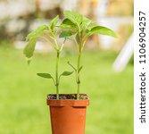young green seedlings plants... | Shutterstock . vector #1106904257