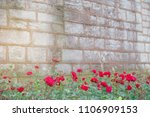 roses on an old wall old brick... | Shutterstock . vector #1106909153