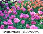 tulip flowers field outdoor.... | Shutterstock . vector #1106909993