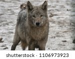 Small photo of the cold stare of a wolf