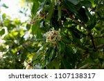 alexandrian laurel  beautiful...   Shutterstock . vector #1107138317