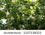 alexandrian laurel  beautiful...   Shutterstock . vector #1107138323