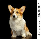 welsh corgi pembroke dog ... | Shutterstock . vector #1107187307