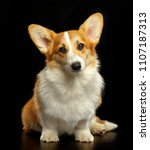 welsh corgi pembroke dog ... | Shutterstock . vector #1107187313