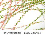 ivy leaves isolated on white... | Shutterstock . vector #1107256487