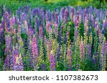 lupinus  commonly known as... | Shutterstock . vector #1107382673