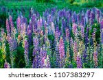 field of lupinus  commonly... | Shutterstock . vector #1107383297