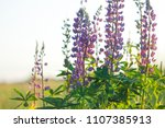 lupinus  commonly known as... | Shutterstock . vector #1107385913