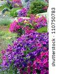 Colorful Petunia Garden In...