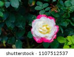 double delight hybrid tea rose... | Shutterstock . vector #1107512537