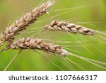Small photo of Agriculture, agronomy and farming background. Spikes of ripe wheat on a green background with ripe grains close up. Good for card, poster or banner.