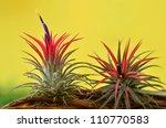 Blooming Tillandsia Ionantha O...