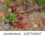 red and green leaves on stony... | Shutterstock . vector #1107765647
