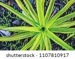 green pineapple plant top view. ... | Shutterstock . vector #1107810917