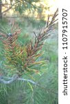 Small photo of The singed branch of a coniferous tree
