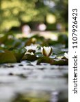 white nymphaea  nymphaea alba l.... | Shutterstock . vector #1107926423