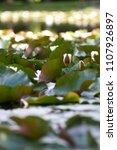 white nymphaea  nymphaea alba l.... | Shutterstock . vector #1107926897