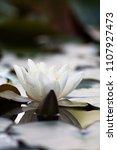 white nymphaea  nymphaea alba l.... | Shutterstock . vector #1107927473