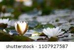white nymphaea  nymphaea alba l.... | Shutterstock . vector #1107927587